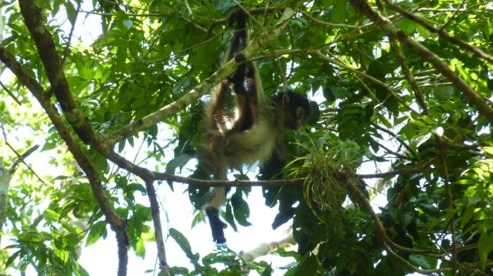 Mono araña bebé. Estos animales abundan mucho en el bosque tropical centroamericano