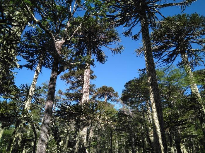 Araucarias, Parque Nacional de Huerquehue