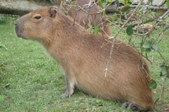 Capybara, Parque Nacional de Santa Teresa