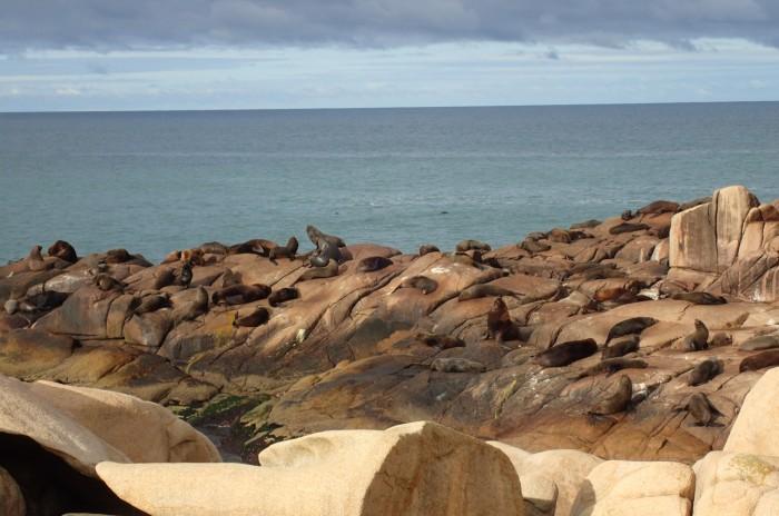 olonia de leones marinos en Cabo Polonio