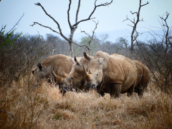 Mezcla de estupor y miedo al acercarse los rinocerontes hacia nuestro coche. Uno de esos momentos que jamás olvidaremos. Parque Nacional de Nhale, Suazilandia