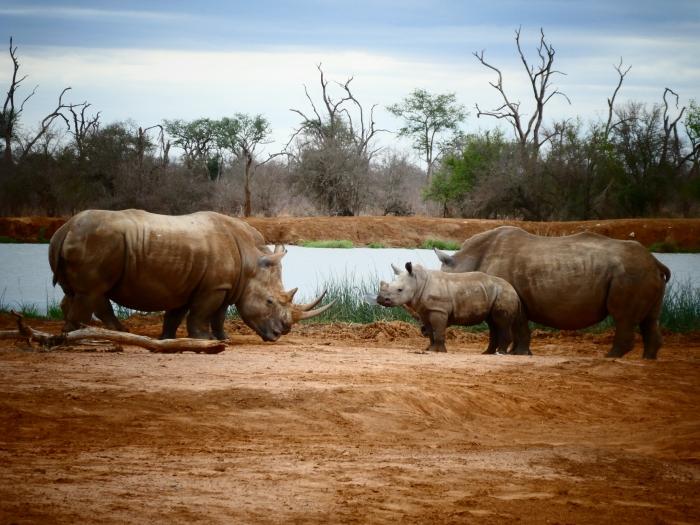 Rinocerontes blancos en el parque nacional de Nhale, Suazilandia