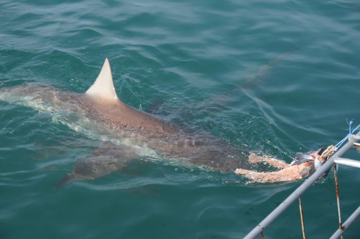 Buceando con tiburones desde una jaula metálica en Kleinsbaii