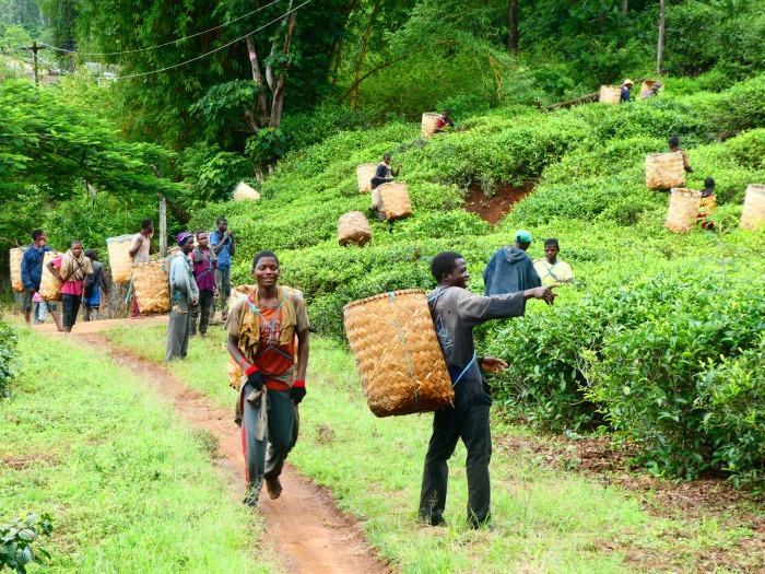 Escena en la recolección de té en Gurué