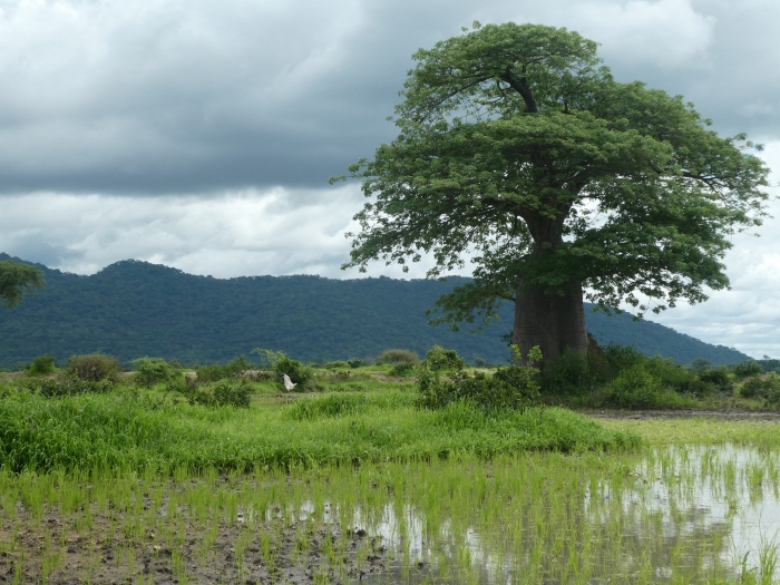 Paisajes de Liwonde, arrozales y baobabs