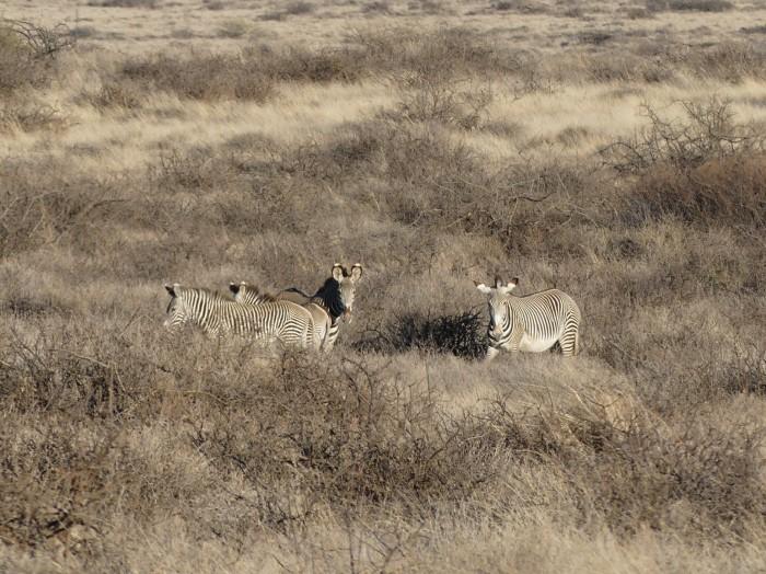 Las infrecuentes cebras de Gravy a las afueras de South Horr